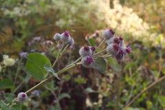 En kardborre blommar och diagonala taggar Arkivbild