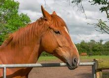 En kastanjebrun kulör häst som väntar på porten royaltyfri fotografi