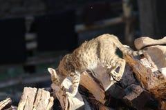 En katt är i sökandet av rovet royaltyfria bilder