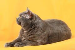 En katt av den brittiska aveln ligger på en gul bakgrund Royaltyfri Foto
