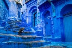 En katt i den blåa staden av Chefchaouen, Marocko royaltyfri fotografi