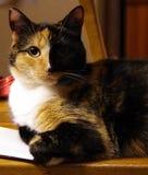 En katt jamar Royaltyfria Bilder