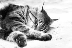 En katt ligger sovande Royaltyfri Bild