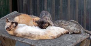 En katt matar mjölkar av tre olikt färgade kattungar Arkivfoto