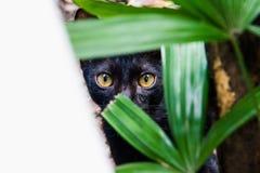 En katt med ögon som ser mig Arkivfoton