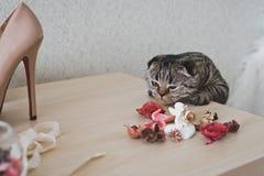 En katt med korta öron ser på tabellen Arkivfoto