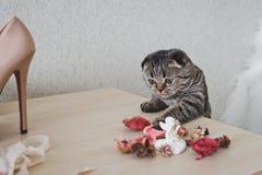 En katt med korta öron ser på tabellen Royaltyfria Bilder
