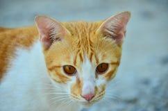 En katt på Thailand Arkivbild