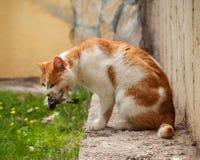 En katt som äter en fågel som den har fångat En fågel i mun för katt` s Royaltyfri Fotografi