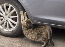 En katt som skrapar bilgummihjulet som vässar dess jordluckrare royaltyfri fotografi