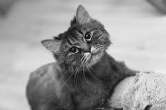 En katt stirrar på linsen Arkivbilder