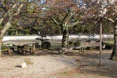 En katt vilar under körsbärsröda blomningar i en parkera i Iwakuni (Japan) Royaltyfri Fotografi