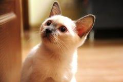 En katt vita bärande stora ögon för en smart blick Arkivfoto