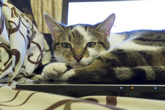 En kattstående Fotografering för Bildbyråer