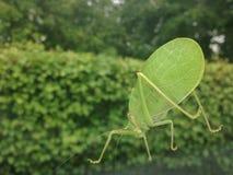 En Katydid på mitt bilfönster Arkivbilder