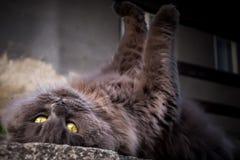 En kelig katt royaltyfri foto