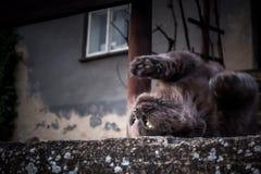 En kelig katt arkivbilder