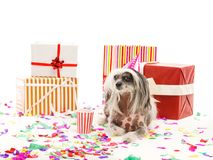 En kines krönad hund ligger nära de festliga gåvaaskarna bakgrund isolerad white inomhus royaltyfri fotografi