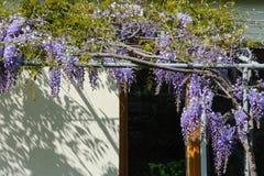 En kinesisk wisteria på terrassen i vår royaltyfria bilder