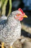 En kippen die van het huisgevogelte in openlucht weiden de lopen royalty-vrije stock foto's