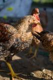 En kippen die van het huisgevogelte in openlucht weiden de lopen royalty-vrije stock fotografie