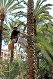 En klättrarearbetare klättrar en palmträd under en utställning i Elche, Alicante, Spanien Royaltyfria Foton