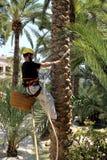 En klättrareman klättrar en palmträd under en utställning i Elche, Alicante, Spanien Royaltyfri Fotografi