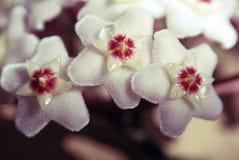 En klättring eller breda ut sig den vintergröna busken med dekorativ lövverk och vaxartade blommor royaltyfria foton