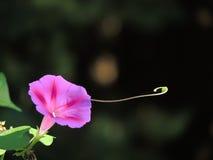 En klättringmorgon Glory Flower Arkivbilder