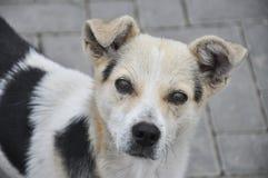En klar blick av den lilla hunden Arkivbild