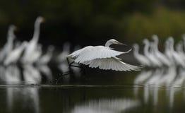 En klar stork flög applådera bort dess vinge fotografering för bildbyråer