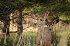 En klocka för ställningar för mulahjortar i aftonen Royaltyfri Foto