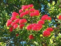 En klunga av blommor på detta pohutukawaträd Royaltyfri Foto