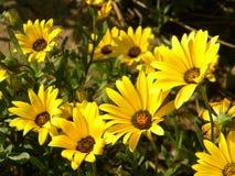 En klunga av gula blommor i parkerar arkivbild