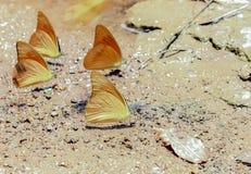 En klunga av orange fjärilar Fotografering för Bildbyråer
