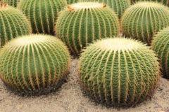 En klunga av prickly pears royaltyfri bild