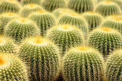En klunga av prickly pears royaltyfri fotografi