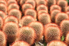 En klunga av röda prickly pears royaltyfri foto