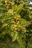 En klunga av små äpplen på ett träd arkivfoton