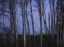 En klunga av träd för vit björk mot en skymninghimmel Arkivfoton