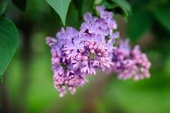 En knopp av den purpurfärgade lilan i ett knaprigt plan Arkivbilder