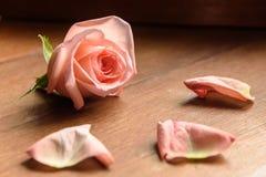 En knopp av en rosa färgros Arkivbilder