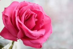 En knopp av en mjuk rosa färg steg på en suddig bakgrund royaltyfria bilder
