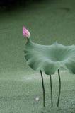 En knopp i lotusblommadammet Arkivfoto