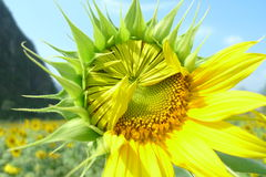 En knopp ordnar till precis till bristningen av solrosen Royaltyfri Bild