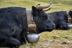 En ko i de schweiziska fjällängarna, med en härlig bergsikt i bet Royaltyfri Bild