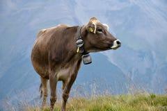 En ko i de schweiziska fjällängarna, med en härlig bergsikt i bet Arkivfoton