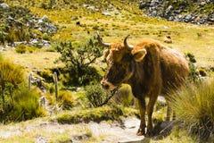 En ko i den Huascaran nationalparken Royaltyfri Foto