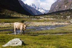 En ko i den Huascaran nationalparken Arkivbild