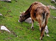 En ko i Yili prarie fotografering för bildbyråer